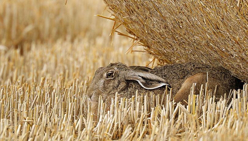 Der Lebensraum des Feldhasen ändert sich durch die Getreideernte dramatisch. - © Michael Breuer