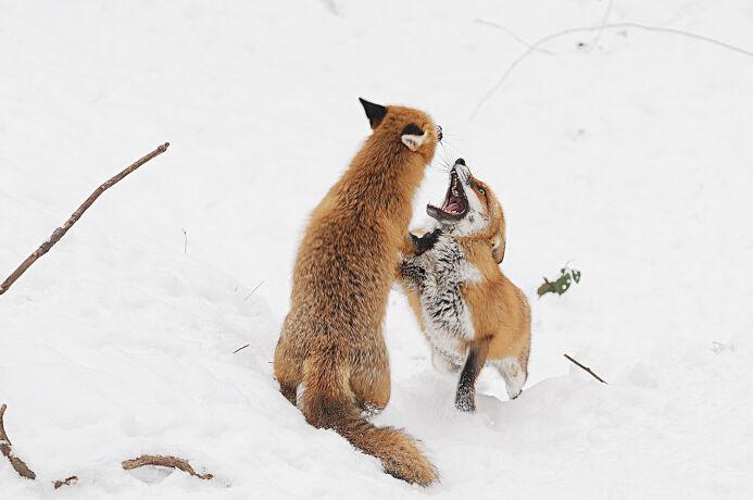 Füchse zum Anziehen - © Fritz Wolf