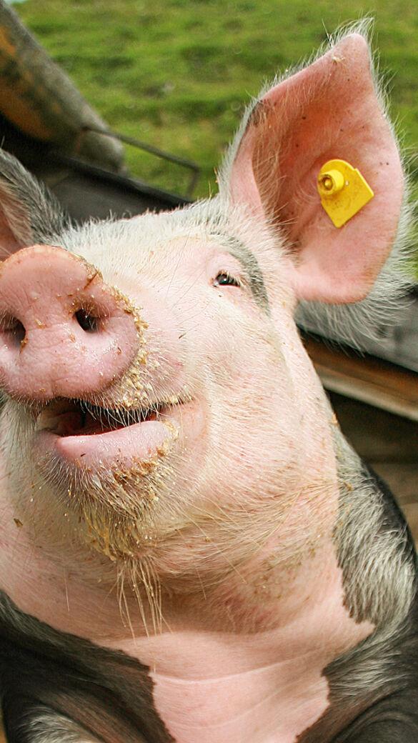Glückliches Schwein - © Fritz Wolf