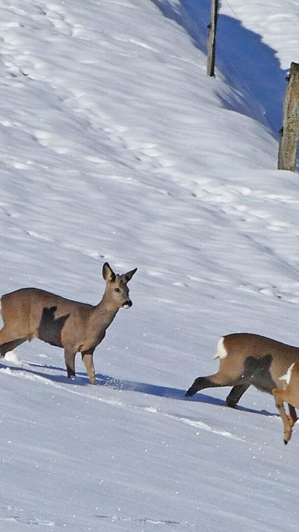 Das Wild braucht im Winter vor allem eines: Ruhe! - Das Wild kämpft bei extremer Kälte und durchgehender Schneedecke ums Überleben. - © Pixabay