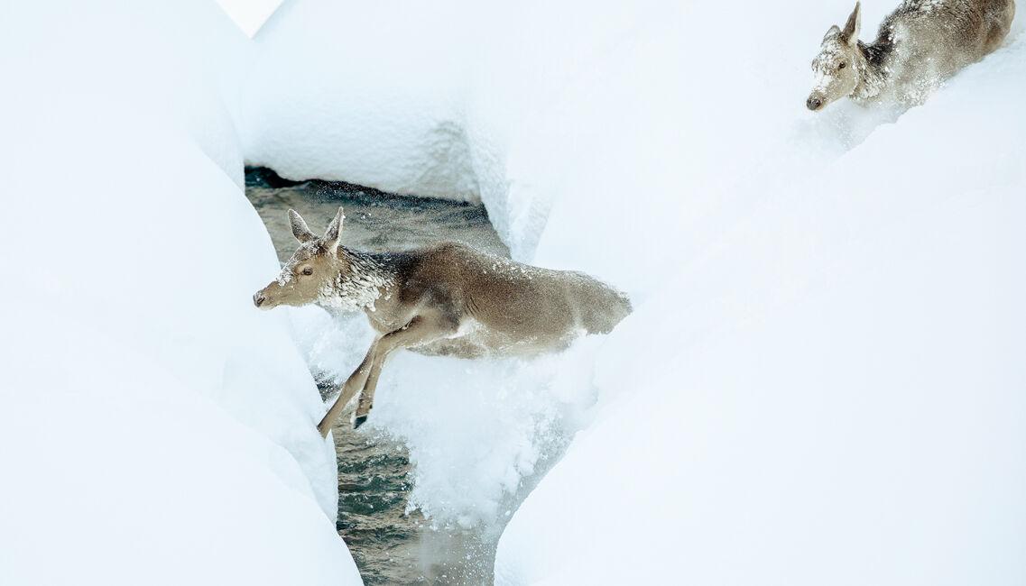 Wildtiere sollten in extremen Situationen nicht dem Hunger und der Erschöpfung überlassen werden! - © Christoph Burgstaller