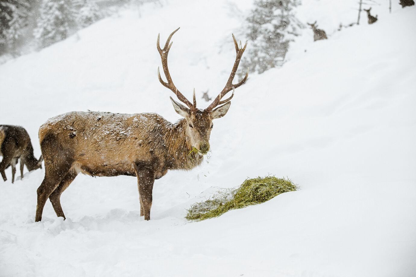 In extremen Situationen ist die Winterfütterung nicht nur als Maßnahme gegen Wildschäden zu sehen, sondern als aktiver Tierschutz! - © Christoph Burgstaller