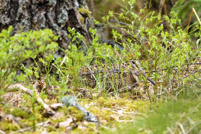 Angebirscht: Waldschnepfe - © Jürgen Schiersmann