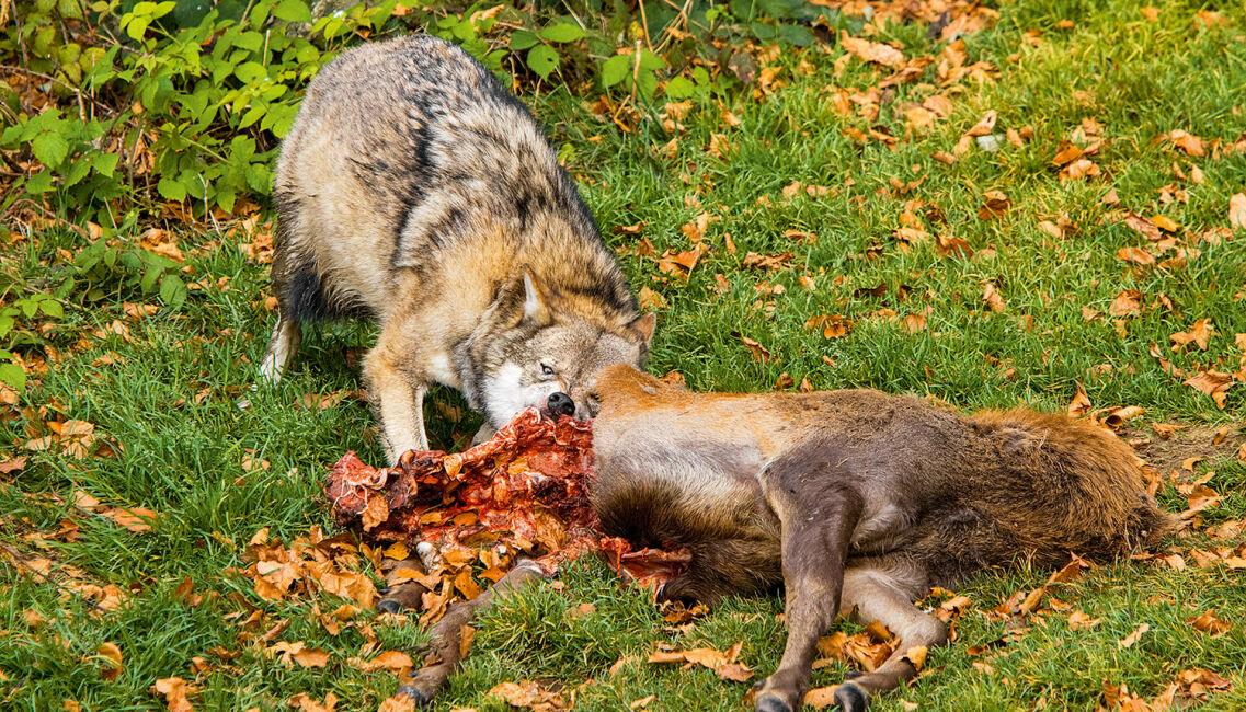 Der Wolf: gehasst, verdammt, vergöttert! - © Eva Pum