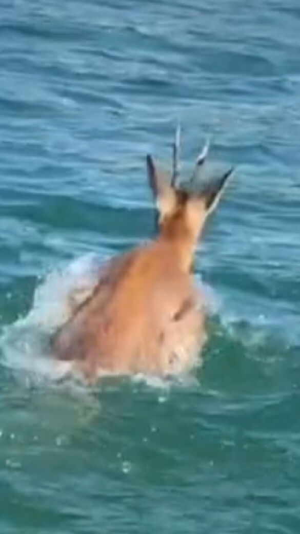 Rehbock schwimmt im Wörthersee um sein Leben - © Tik-Tok