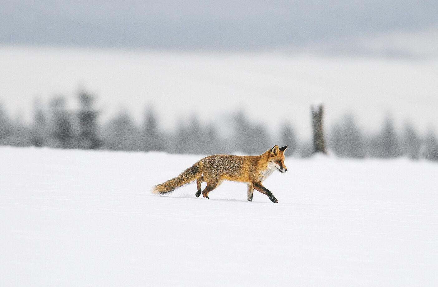 Schnürender Fuchs in Winterlandschaft - Der Fuchs gilt als Opportunist. Er erbeutet vor allem das, was leicht verfügbar ist. - © Wolfgang Radenbach