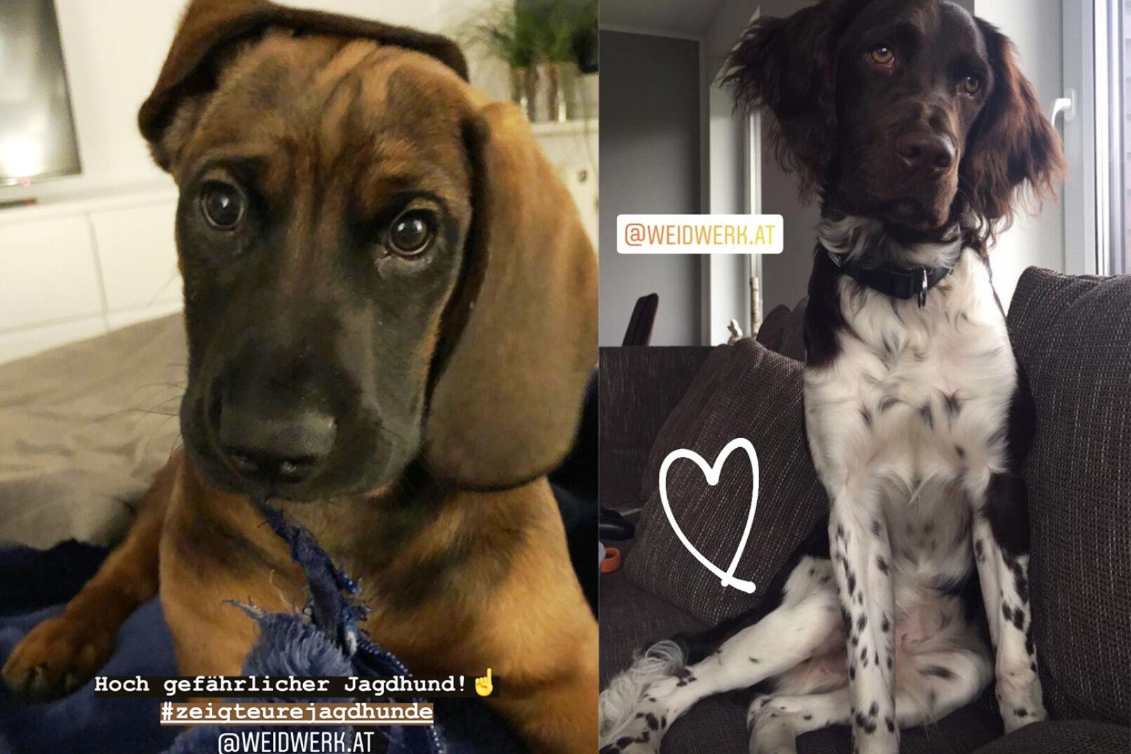 Robyns Hund weiß, wie man jemanden um den Finger wickelt! Rechts: Kerstins Kleiner Münsterländer.