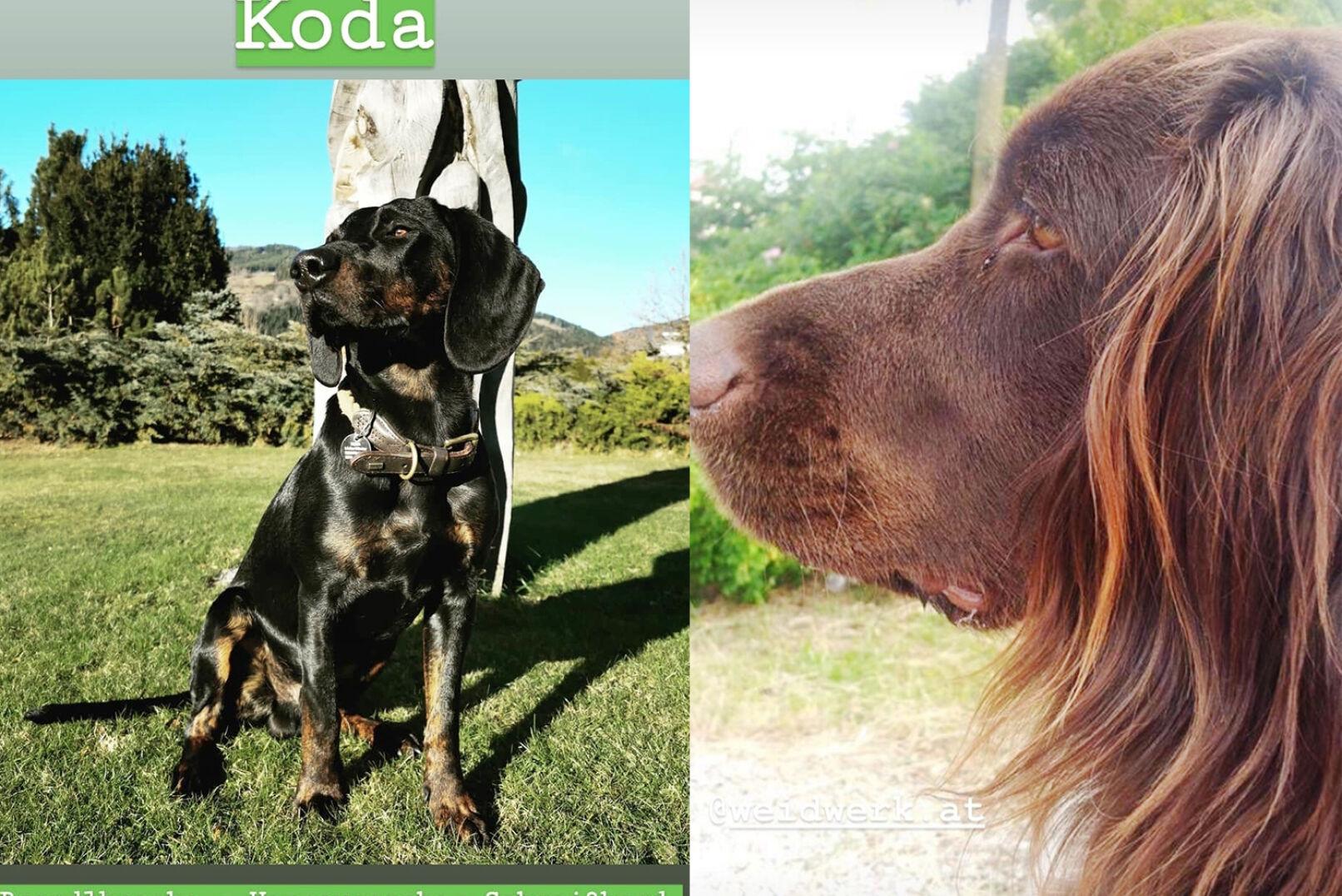 Das ist Koda, Brandlbracke mit Hannoverschem Schweißhund (IG:@krickale). Rechts: Sophies Vierbeiner.