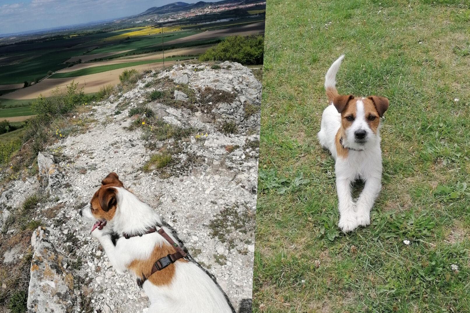 """Lukas stellt uns seine neun Monate """"alte"""" Parson-Hündin Ayla vor, sie ist Baujagd- & Familienhund."""
