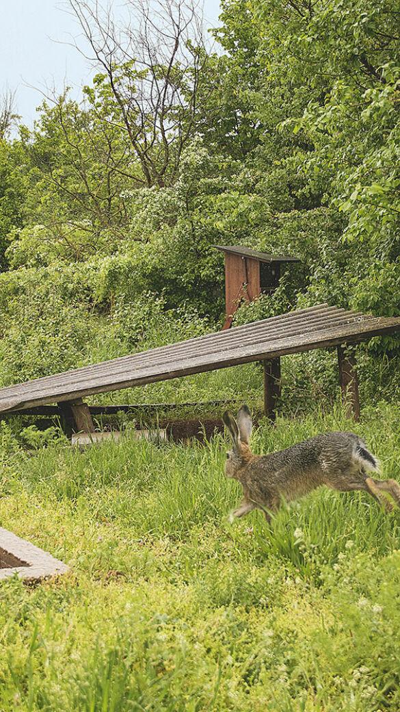 Während der anhaltenden Trockenheit unterstützen JägerInnen das Wild mit zusätzlichen Tränken und Äsung.