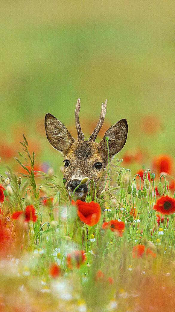Bockjahrling im Mohnblumenfeld - © Sven-Erik Arndt