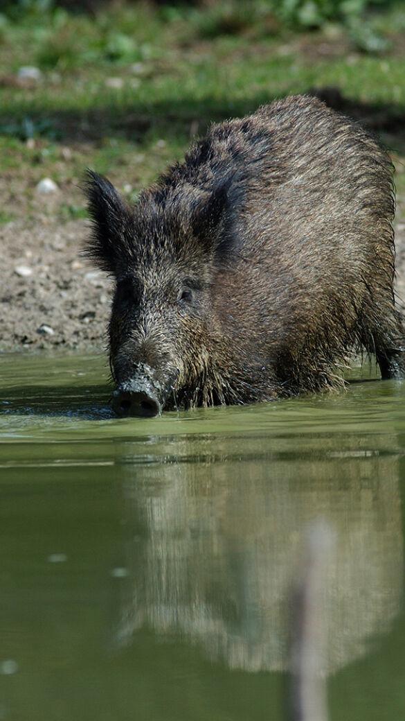 Wildschwein kommt aus Ostsee (Symbolbild) - Wildschwein kommt aus der Ostsee (Symbolbild) - © WEIDWERK-Archiv/Migos