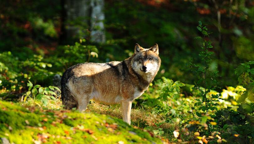 Schweiz stimmt über neues Jagdgesetz ab (Symbolbild) - © WEIDWERK-Archiv/Radenbach