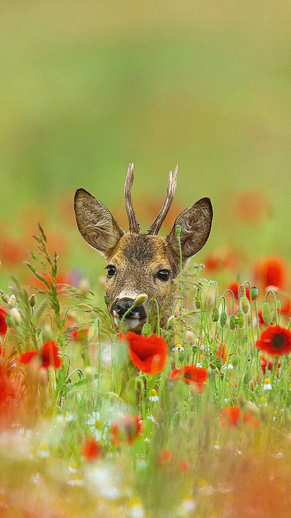 Im Juni verdeckt die Vegetation das Rehwild zunehmend. - © Sven-Erik Arndt