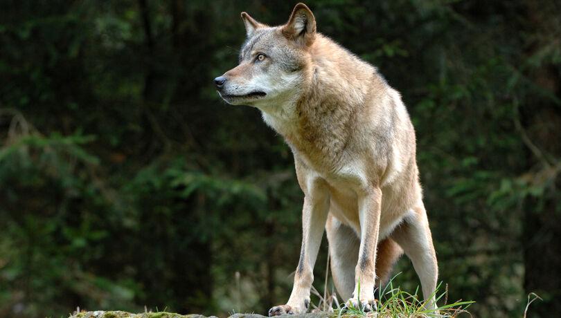 Abschuss einzelner Wölfe laut EU-Kommission erlaubt (Symbolbild) - © WEIDWERK-Archiv/Bernhardt