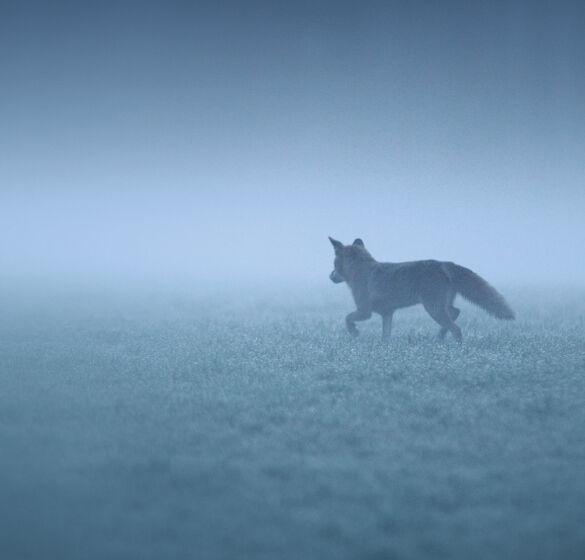 Rotfuchs auf Beutesuche. - © Reiner Bernhardt