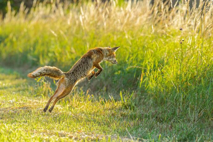 """Der """"Mäusesprung"""" ist typisch. - © Michael Breuer"""