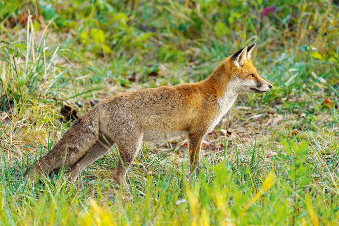 Füchse präsentieren sich nur für wenige Wochen im Sommerbalg. - © Michael Breuer