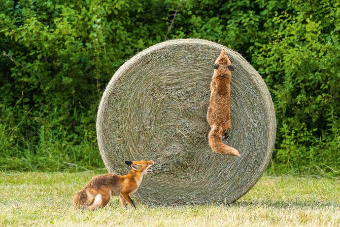 Füchse sind neugierig. - © Michael Breuer