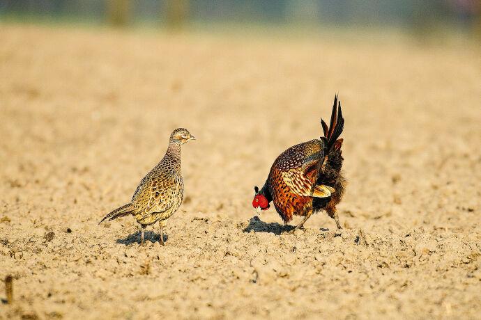 Der Hahn umwirbt die Henne. - © Michael Migos