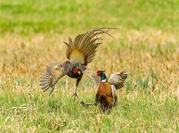 Fasanhahnen kämpfen um die besten Territorien. - © Ingo Gerlach