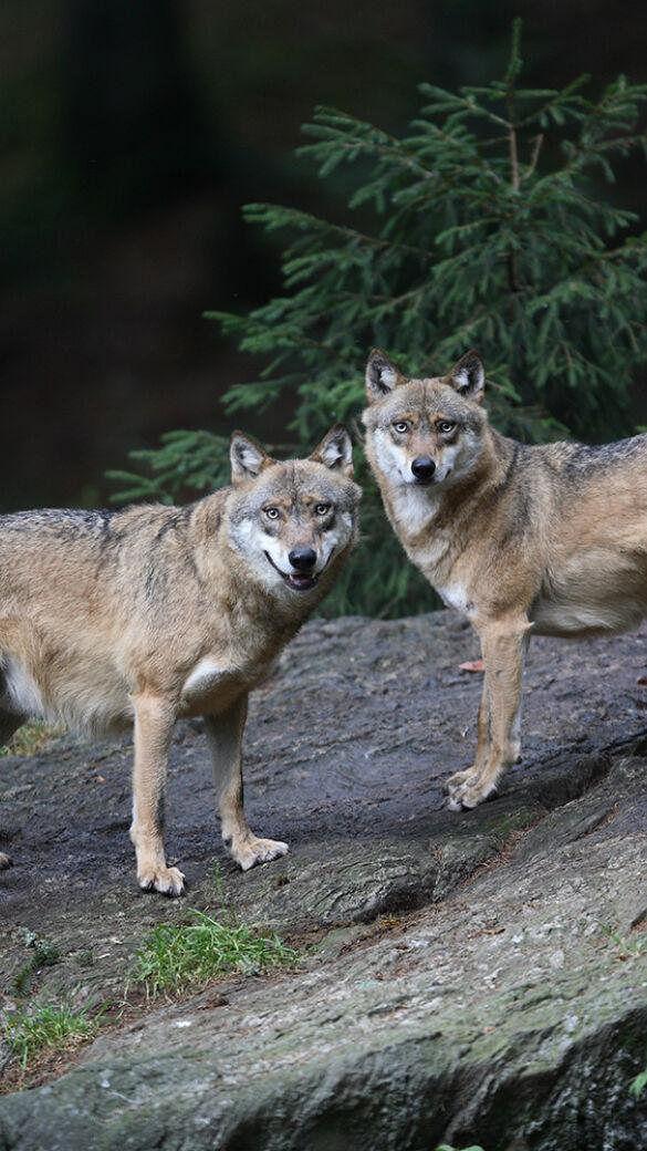 LH Platter startet Initiative zur Minderung des Wolfsschutzes - © WEIDWERK-Archiv/Jürgen Gauß