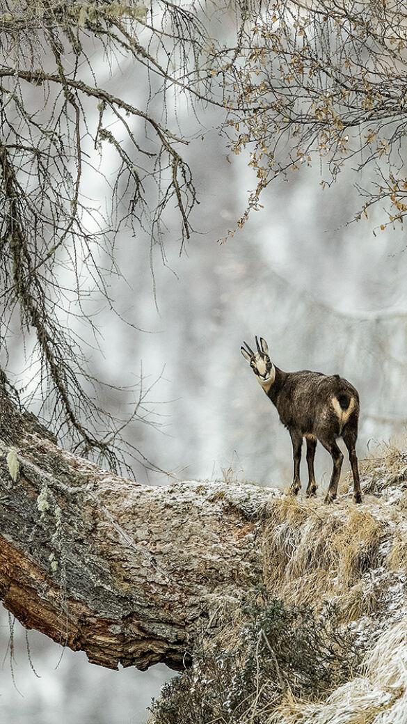 Das Gamswild ist eine Charakterwildart des Gebirges. - © Christof Steirer