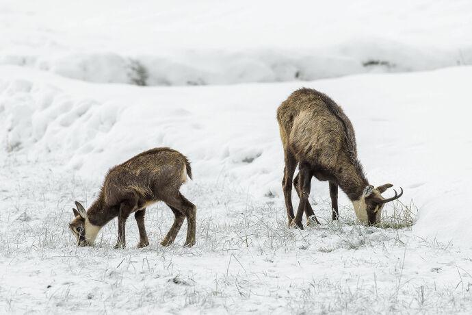 Um an Äsung zu kommen, scharren die Tiere den Schnee weg. - © Michael Breuer