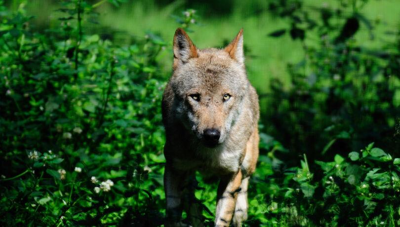 Europäischer Wolf - © WEIDWERK-Archiv/Michael Migos