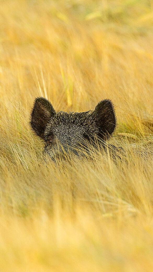 Getreidefelder sind ein Paradies für Sauen. - © Sven-Erik Arndt
