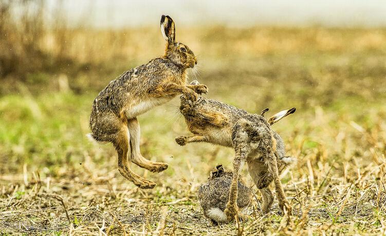 Bei den Kämpfen um die Häsin fliegen die Fetzen. - © Ingo Gerlach