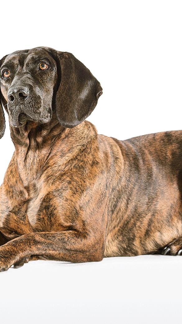 Sein Ursprung ist beim keltischen Sgusierhund zu finden. - © WEIDWERK