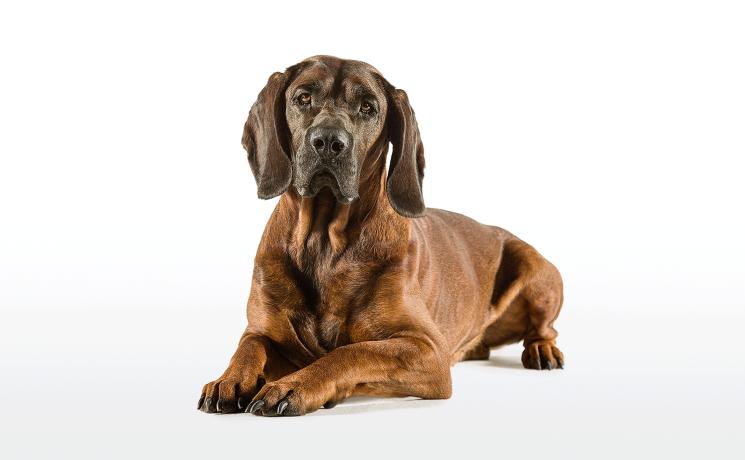 Der Hannover'sche Schweißhund - © WEIDWERK