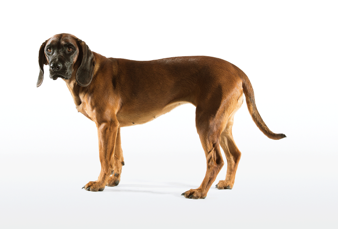 Der Bayerische Gebirgsschweißhund eignet ideal als Begleiter für die Jagd im Gebirge. - © Christoph Burgstaller