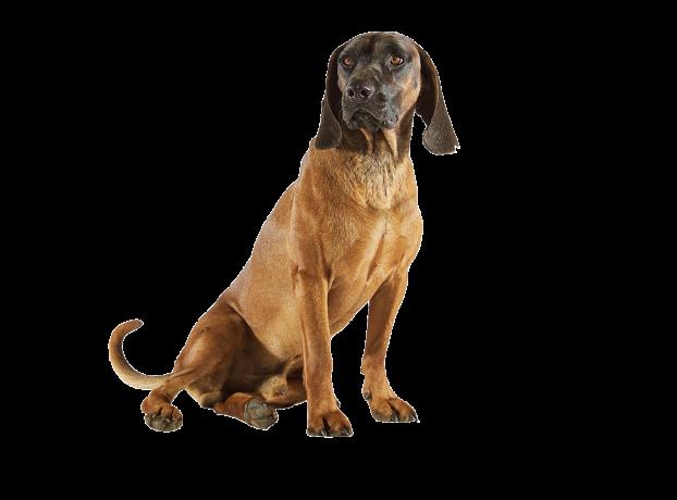 Im Jahr 1883 erhielt der Bayerische Gebirgsschweißhund seinen offiziellen Namen. - © Christoph Burgstaller