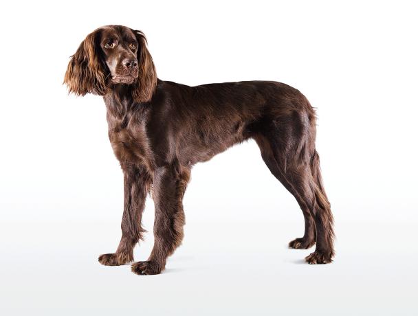 Der Deutsch Langhaar ist nicht nur vielseitig einsetzbar, sondern auch ein anhänglicher und ruhiger Familienhund. - © Christoph Burgstaller