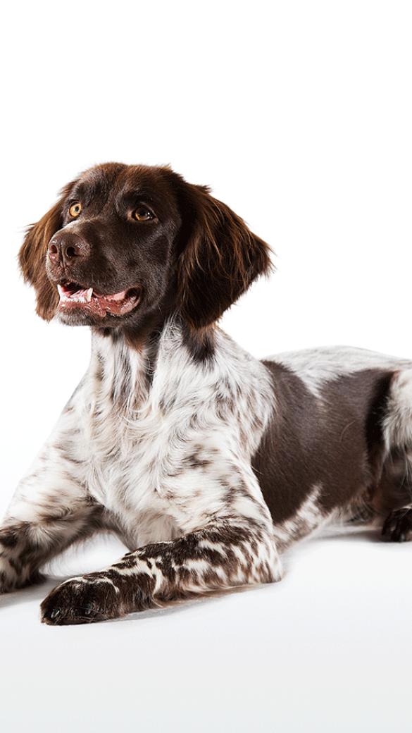 Nachweislich wurden diese Hunde aber schon 1812 im Münsterland gezüchtet. - © Christoph Burgstaller
