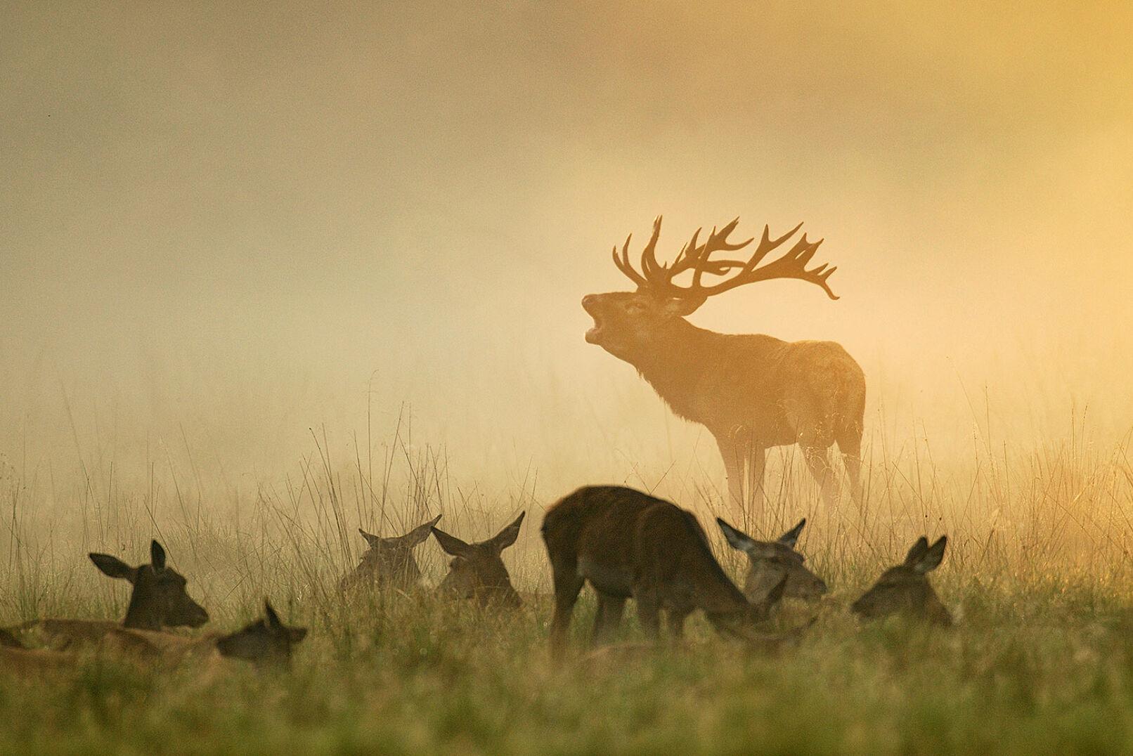 Angebirscht - Rotwild - © Michael Breuer