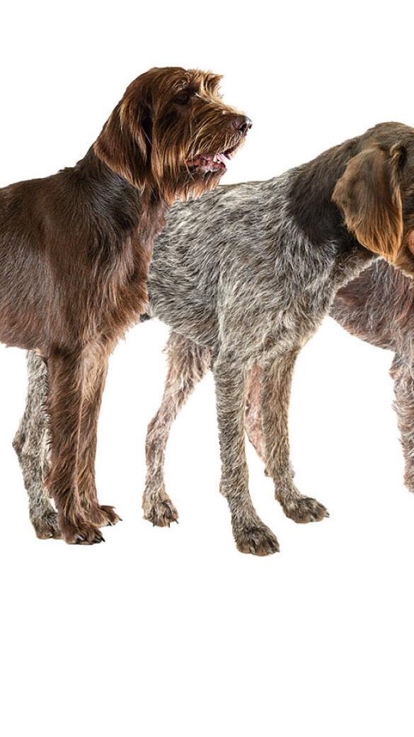 Hunde-Trio  - V. l. n. r.: Pudelpointer, Deutsch Stichelhaar und Griffon Korthals. - © Oliver Deck