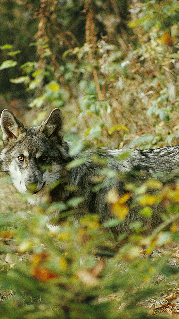 Wölfe müssen nach einem Urteil des EuGH auch dann geschützt werden, wenn sie in Dörfer kommen. - Wölfe müssen nach einem Urteil des Europäischen Gerichtshofes vom 11. 6. 2020 auch dann geschützt werden, wenn sie in Dörfer kommen. - © Franz Bagyi