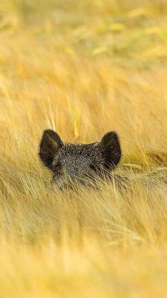 Dem Wildschwein geht es im Burgenland an dem Kragen. - © Sven-Erik Arndt