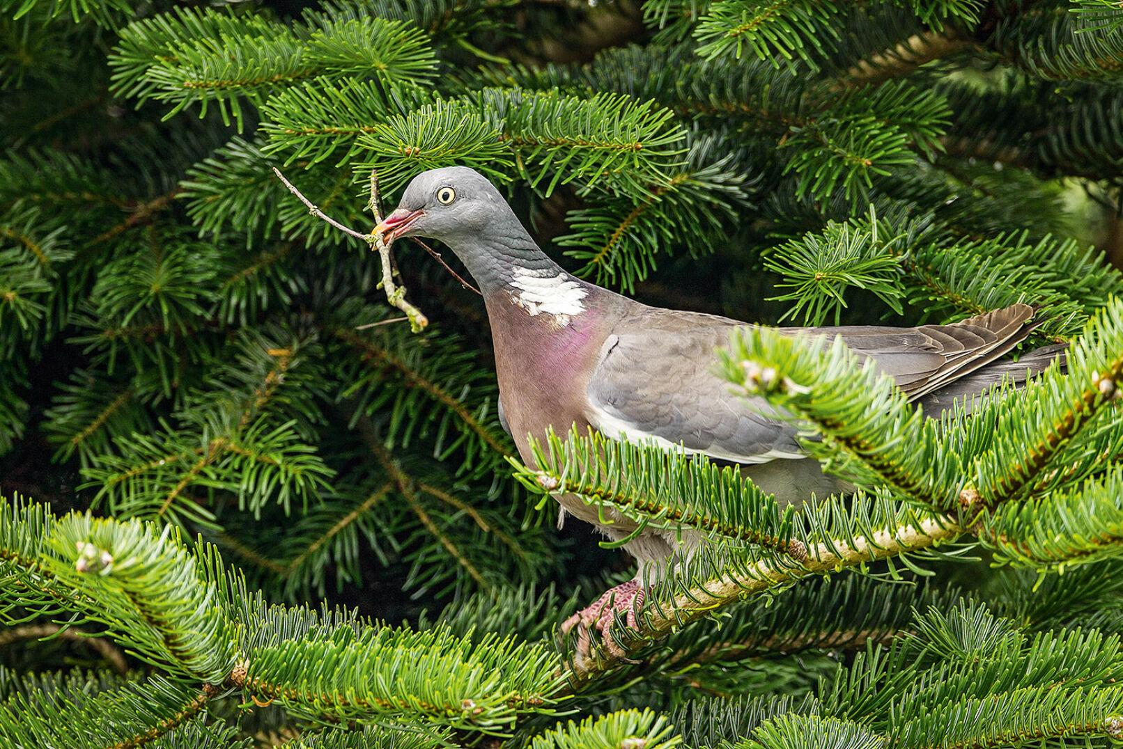 Ringeltaube– Altvogel mit Nistmaterial - Foto Helge Schulz - © Helge Schulz