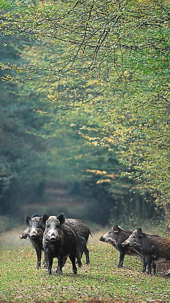 Die ASP breitet sich unter dem Schwarzwild weiter aus. - © Richard Altmann