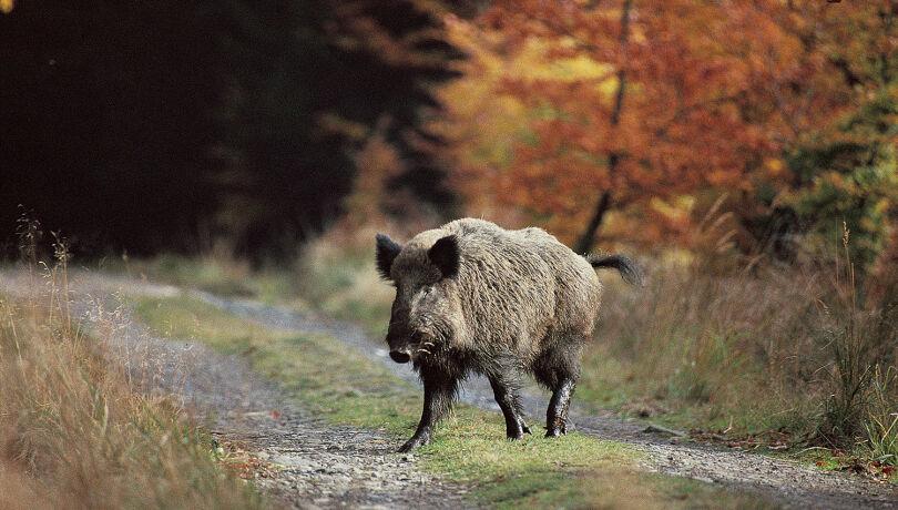 Wildschwein auf Forststraße - © Karl-Heinz Volkmar