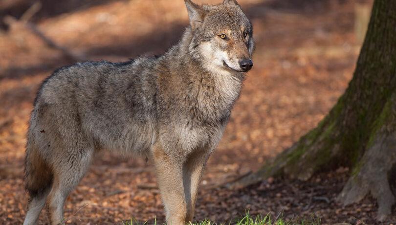 Die abgelehnte Revidierung des Schweizer Jagdgesetzes kommt weiterhin dem Wolf zugute. - © Willi Rolfes