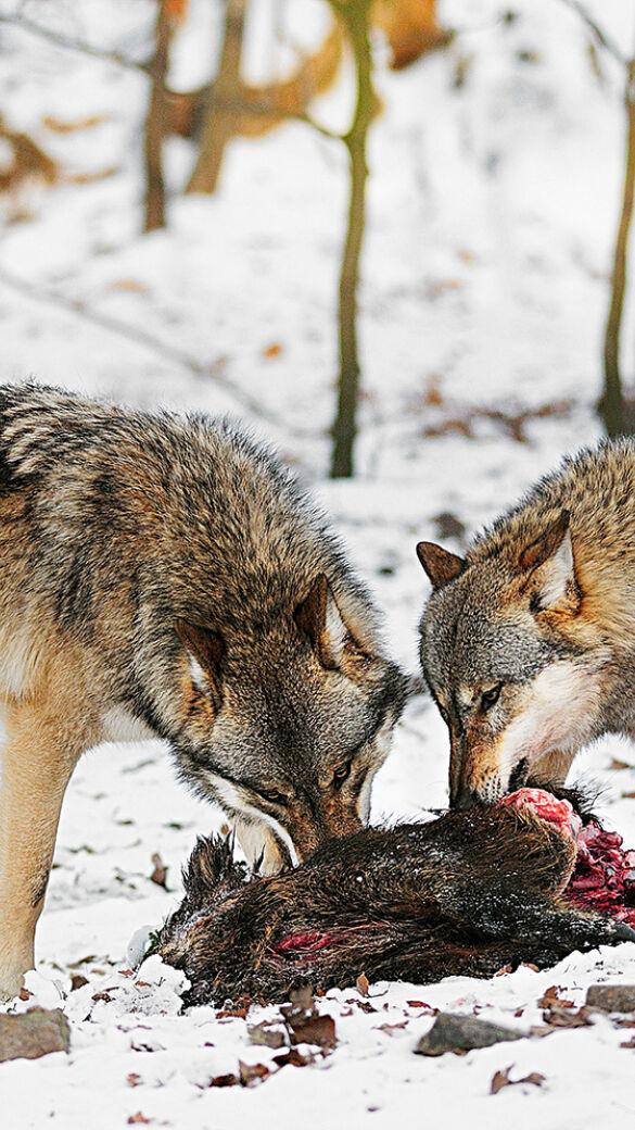 Wölfe fressen Wildschwein - © Karl-Heinz Volkmar