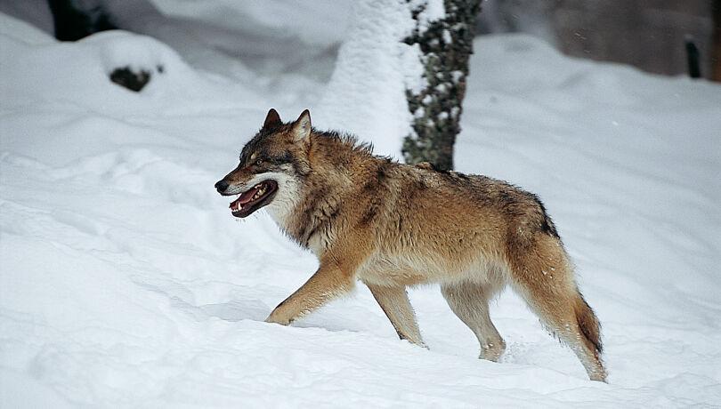 Wolfsabschuss gefordert in OÖ - © Michael Breuer