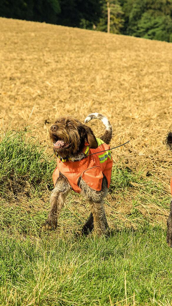 Schwarzwild: Gefahr für Jagdhunde! - Jagdhunde müssen für ihren Einsatz auf Riegeljagden entsprechend vorbereitet werden. - © Martin Grasberger