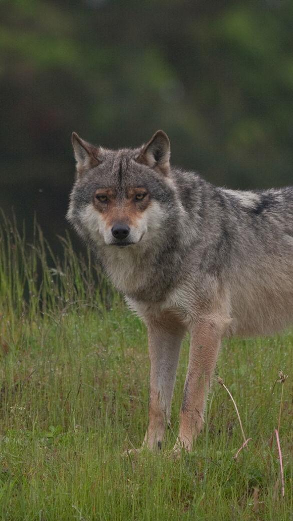 Der Wolf soll in Niedersachsens Jagdrecht - © Jürgen Schiermann