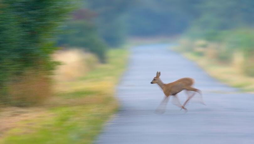 Das Reh lief in voller Flucht über die Fahrbahn. - © Michael Breuer
